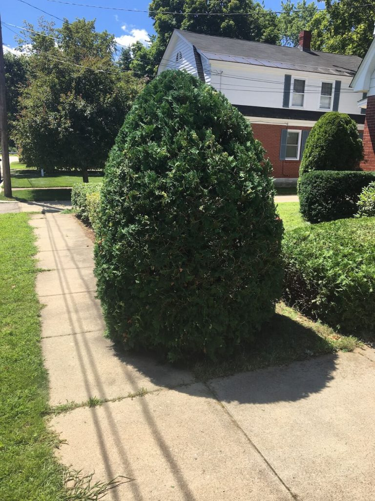 large hedge trim in front yard