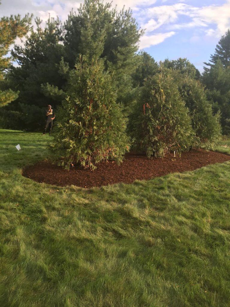 Arborvitae, red bark mulch, Merrimack NH